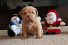 dogue di  bordeaux  pura
