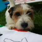 due femminucce jack russell  3 anni  sanissime