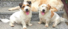 Offro in regalo due femminucce jack russell  3 anni  sanissime