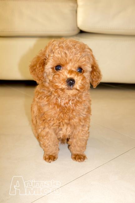 Accoppiamento cucciolo barboncino da privato a bari cani for Cane barboncino toy