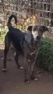 Cuccioli di rottweiler in regalo a catania