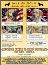 disponibili cuccioli di golden retriever