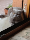 british shorthair disponibile per accoppiamento.