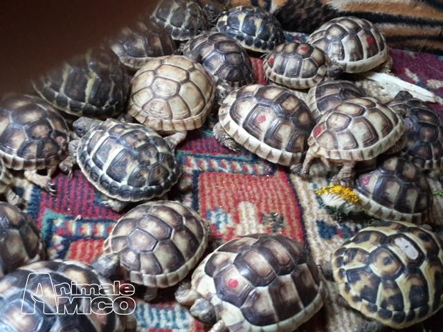 Vendita cucciolo testudo marginata da privato a milano rettili testudo marginata in vendita for Prezzo tartarughe