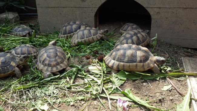 Vendita cucciolo testudo marginata da privato a milano for Cerco acquario per tartarughe