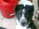 Vendita border collie cuccioli con pedigree