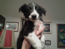 border collie cuccioli con pedigree