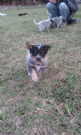 cuccioli australian cattle dog