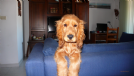 Accoppiamento cocker spaniel inglese con pedigree da privato