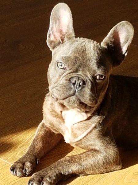 Bulldog Francese Blu Nano