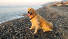golden retriever cerca femmina per accoppiamento