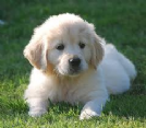 cuccioli di golden con pedigree