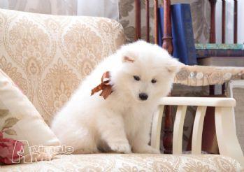 Annunci samoiedo regalo cani taglia grande in vendita for Regalo offro gratis