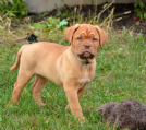 cuccioli di dogue de bordeaux