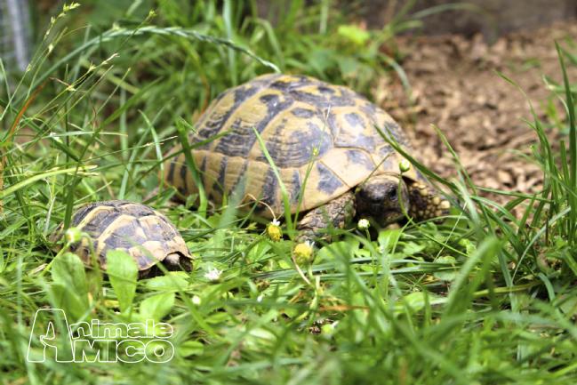 Vendita cucciolo testudo hermanni da privato a bergamo rettili testudo hermanni in vendita for Prezzo tartarughe