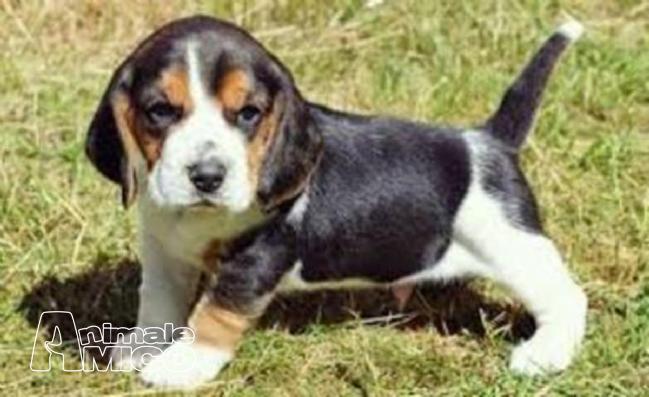 Vendita Beagle Da Privato A Imperia Regalo Cuccioli Di Beagle 05122018
