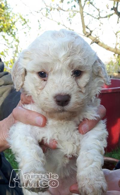 Vendita cucciolo da privato a pu caniin vendita for Tequila e bonetti cane razza