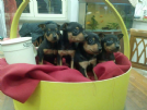 pinscher toy