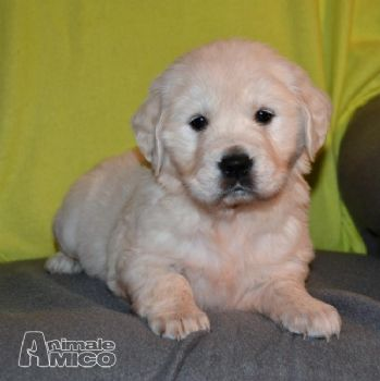 Vendita cuccioli di golden retriever con pedigree- da privato