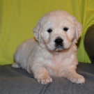 Vendita golden retriever con pedigree da privato