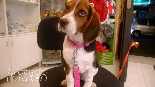 Vendita Cucciolo Beagle Da Privato A Palermo Cuccioli Di Beagle 2 Mesi