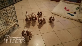 Vendita splendidi cuccioli di bassethound con pedigree da privato