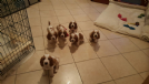 splendidi cuccioli di bassethound con pedigree