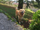 Accoppiamento golden retriever con pedigree da privato