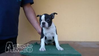 Vendita boston terrier femmina da negoziante