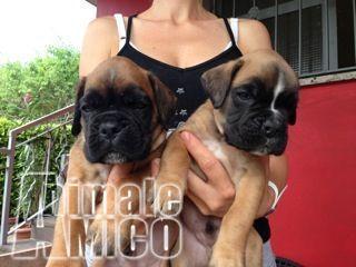 Cerco cani boxer in regalo