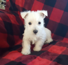Vendita west highland white terrier cuccioli da privato
