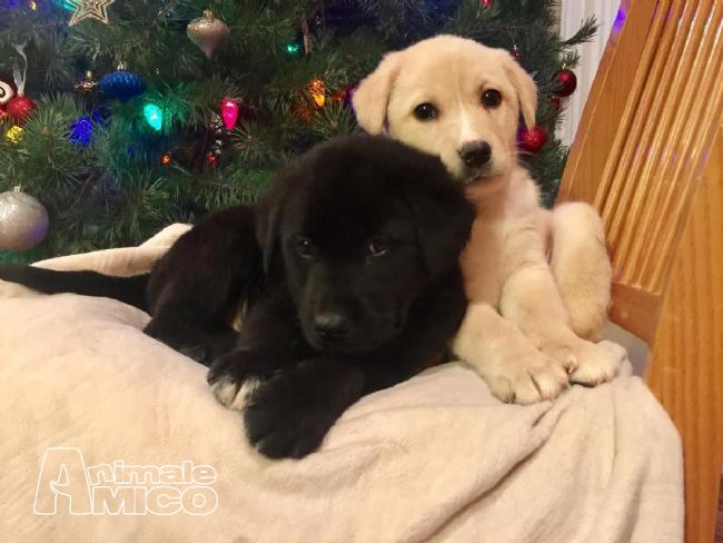 Vendita Labrador Da Privato A Monza E Brianza Cuccioli Di Labrador