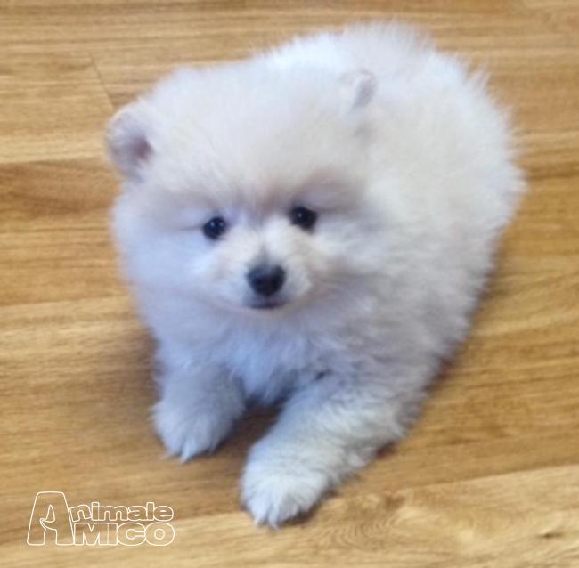 Vendita cucciolo volpino pomerania da privato a isernia - Spitz toy prezzo ...