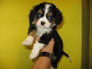 cavalier king tricolore femmina