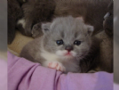 regalo british shorthair para adopcion