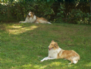 cuccioli rough collie