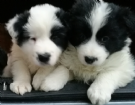 cuccioli di border collie