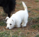 Vendita 2 cuccioli di west highland white terrier da privato