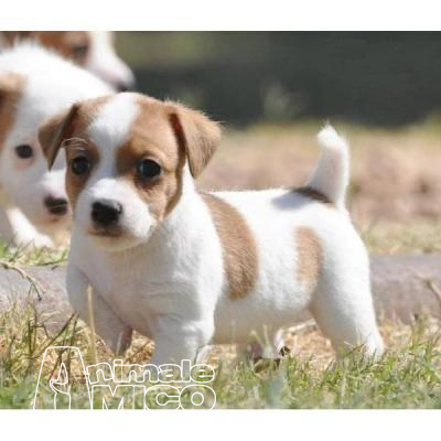 Vendita Cucciolo Jack Russel Da Allevatore A Firenze Cuccioli Di