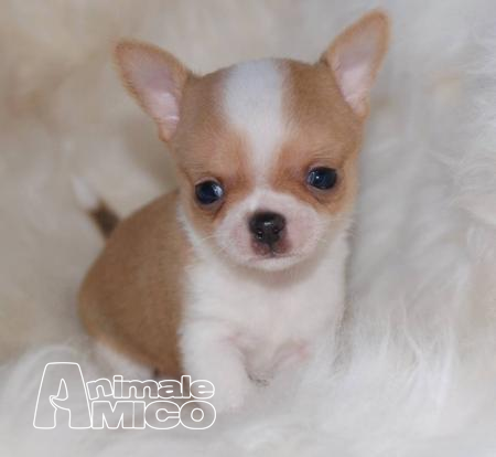 Vendita Cucciolo Chihuahua Da Allevatore A Firenze Cuccioli Di