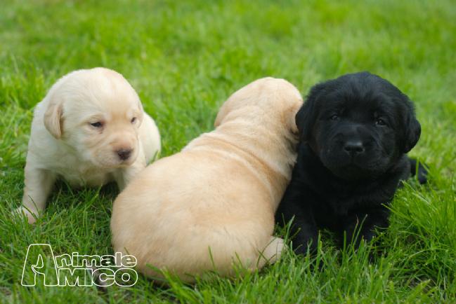 Cuccioli Labrador In Regalo Firenze