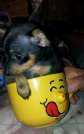 toy mini pinscher prague ratter