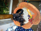 Vendita toy mini pinscher di prague ratter