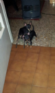 toy mini pinscher di prague ratter