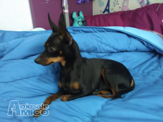 Accoppiamento pinscher da privato a roma cani pinscher in for Cercasi armadio in regalo