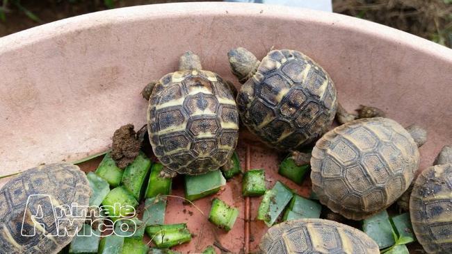 Vendita testudo hermanni da privato a genova rettili for Vasca tartarughe vendita