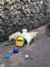 cuccioli di golden retriever con pedigree-