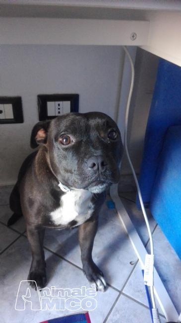 Aereo Privato Cani : Accoppiamento staffordshire da privato a savona cani