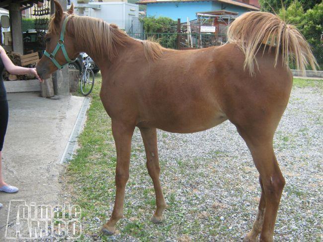 Vendita arabo da privato a bergamo animali da cortile for Cavalli in vendita in trentino