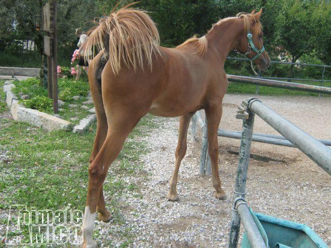 Vendita arabo da privato a bergamo cavalli puro sangue for Cavalli bolzano